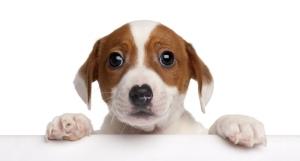 puppy-kijkt-over-tafel-heen-socialisatie-post