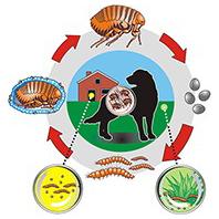 Levenscyclus vlo hond